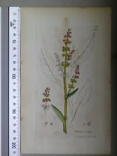 English Botany, Smith, Sowerby, handcoloured copperplate, 529, 3.Edition,1850.