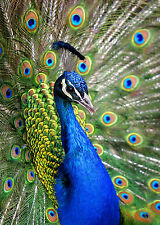 SUPERB PEACOCK FEATHERS CANVAS #3 QUALITY FRAMED CANVAS PICTURE WALL ART A1