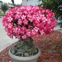 Rare Exotic Desert Rose, (Adenium) Mixed Colors 10 Fresh Seeds From Canada