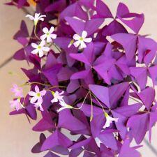 20 Pcs Red Wood Oxalis Sorrel Seeds Shamrock Bonsai Seeds Flower Seed S074