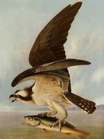 JOHN JAMES AUDUBON AMERICAN OSPREY WEAKFISH OLD ART PAINTING POSTER BB5934A
