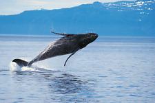 "Whale - Wildlife Animals Photo Art - Canvas Giclee Print 24"" x36"""