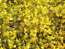 CYTISUS SCOPARIUS 50 semi seeds Ginestra dei carbonai Common broom Scotch broom