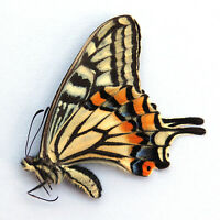 ABERRATION FEMALE unmounted butterfly papilio xuthus spring form CHINA #481