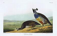 Golden Wing Warbler-Cape Cod Warbler-California Partridge  Audubon Bird Print