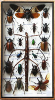 VERY RARE REAL WALKING STICK INSECT WITH THE BEETLES TAXIDERMY IN WOODEN BOX