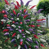 20 Stücke Schmetterling Bush Samen Seltene Blume Pflanze Baum Exotischen Ga G8T3