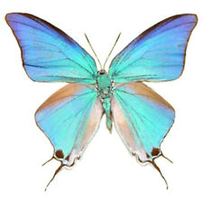Pseudolycaena damo blue hairstreak butterfly Guatemala wings closed