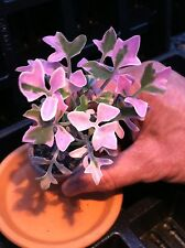 SENECIO ARTICULATUS VARIEGATED (CANDLE STICK PLANT) 1 3/4 INCH SUCCULENT  POT