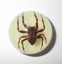 Insect Dome Magnet Ghost Spider Neoscona punctigera Round 38 mm Glow