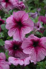 Petunia Grandiflora Daddy Red F1  - Petunia x hybrida - Annual Flower Seeds