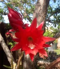 "3 EPIPHYLLUM Red Ackermanii Orchid Cactus  6"" to 11"" cuttings"