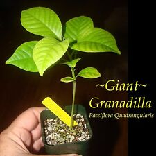 ~GIANT GRANADILLA~ Passiflora quadrangularis NOT SEED or Cutting Sm Pot'd PLANT
