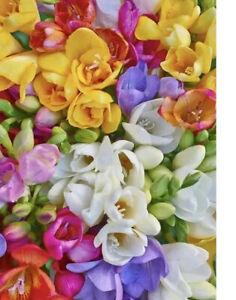 20Freesia MIX Bulbs Spring Summer Garden Plant Corm Wedding Fragrant Cut Flower