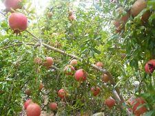 Pomegranate (Punica Granatum) 15 Rare Organic Non-GMO Tropical Fruit Tree Seeds