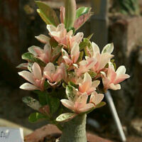 2 pc Adenium 'Yulan magnolia' Types Pink Semidouble Petals Flowers Seeds