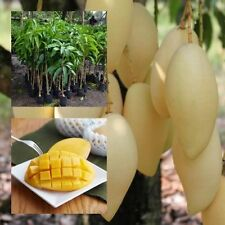 "Mango Tree plant grafted ""NAM-DOC-MAI"" Tall 20"" Thai Golden Mango Fruit Juicy"