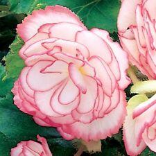 Fleur Bégonia tubéreux sur Femme F1 Rose Halo 150 pastilles en vrac