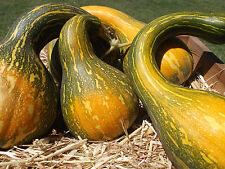 Pumpkin TROMBONE GRAMMA-Pumpkin Seeds-OLD CLASSIC, LOTS OF TASTY FLESH-20 SEEDS