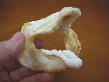 "(SJ278-61) Rare 4"" Port Jackson SHARK jaw teeth + fin verts H. portusjacksoni"