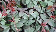 Tetrastigma objectum evergreen climbing plant for warm wall or conservatory