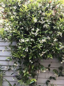 2 X Trachelospermum jasminoides - Star Jasmine 180-200cm - 7 Litre Pot