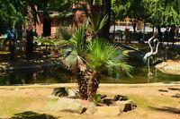 ** Palmetto-Palme die ideale Palme für drinnen und drausen - winterhart Samen.