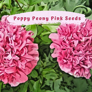 Pretty Pink Peony Poppy Seeds  100 plus seeds