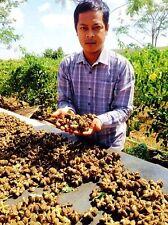 10 Seeds Sacha Inchi,Mountain Peanut,Plukenetia Volubilis,Thai Doa Inca Peanut