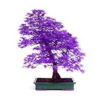 40 Seeds / Pack 100% True Japanese Purple Maple Bonsai Tree Decor