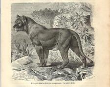 Stampa antica LEONESSA SENEGALENSE Felis leo senegalensis 1891 Old antique print