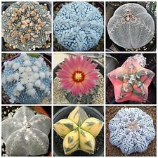 10PCS Mixed Lithops Seeds Living Stones Succulent Cactus Organic Garden Plants