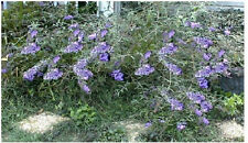 Lilac Lavender Butterfly Budhelia Bush Shrub Tree Over 100 Seeds
