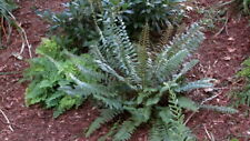 30 Christmas Ferns Polystichum Acrostichoides Perennial Landscaping Bare Root