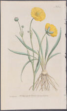 Curtis - Grass-leaved Crowfoot. 164 - 1787-1800's The Botanical Magazine