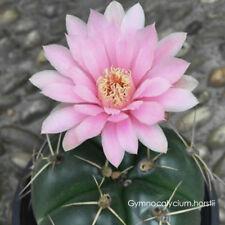 Gymnocalycium horstii Cactus Bulb