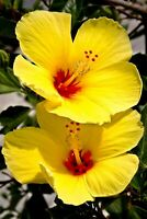 HAWAIIAN YELLOW HIBISCUS PLANT CUTTING 1 Cutting 2 - 4 In. Long