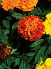 Studentenblume Tagetes Hohe gefüllte Mischung 70 cm Samen