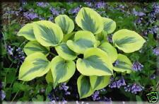 3 Hosta Liberty  Hosta of the year 2012 stunning garden plant