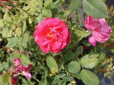 American Legacy Deep Pink Rose 1 Gal Live Bush Plants Shrub Plant Fine Roses
