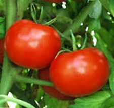 Tomato- Rutgers- 50 Seeds