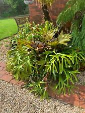 staghorn for sale 1500mm approx. in width.