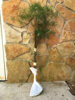 APPALACHIAN GROWN WHITE PINE TREE 3 FOOT STARTER TREE SUSTAINABLE SEEDLINGS