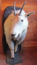 Vintage Mountain Goat Taxidermy Half Mount - cabin - man cave