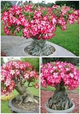 ADENIUM OBESUM caudex rosa deserto rose deserto oleandro oleander