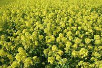 50 semillas Sinapsis alba Mostaza amarilla seeds zaad