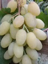 3 pieces MEMORY NEGROULE grape cuttings
