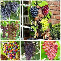 Grape Bonsai Tree Seeds Plants Sweet Organic Edible Fruit Ing Mixed 50pcs