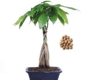 Pachira Aquatica Money Tree SEEDS Evergreen Indoor Garden House Plant Pot Bonsai