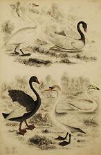 CIGNO SWAN Cygnus - Incisione Originale 1800 Ornitologia Hornitology